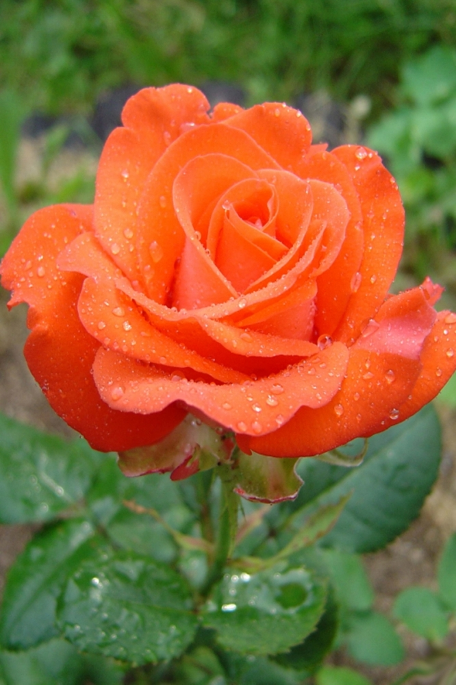 Цветники с цинерарией фото вам плодотворной