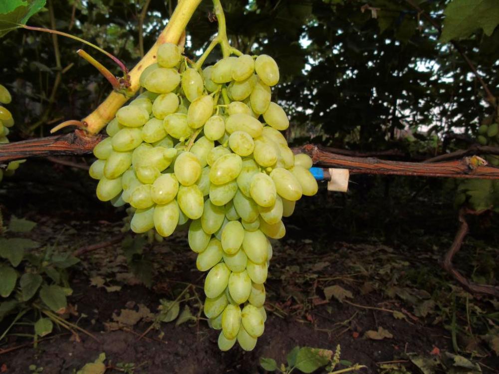виноград к ш столетие фото описание отзывы только режиссер дает