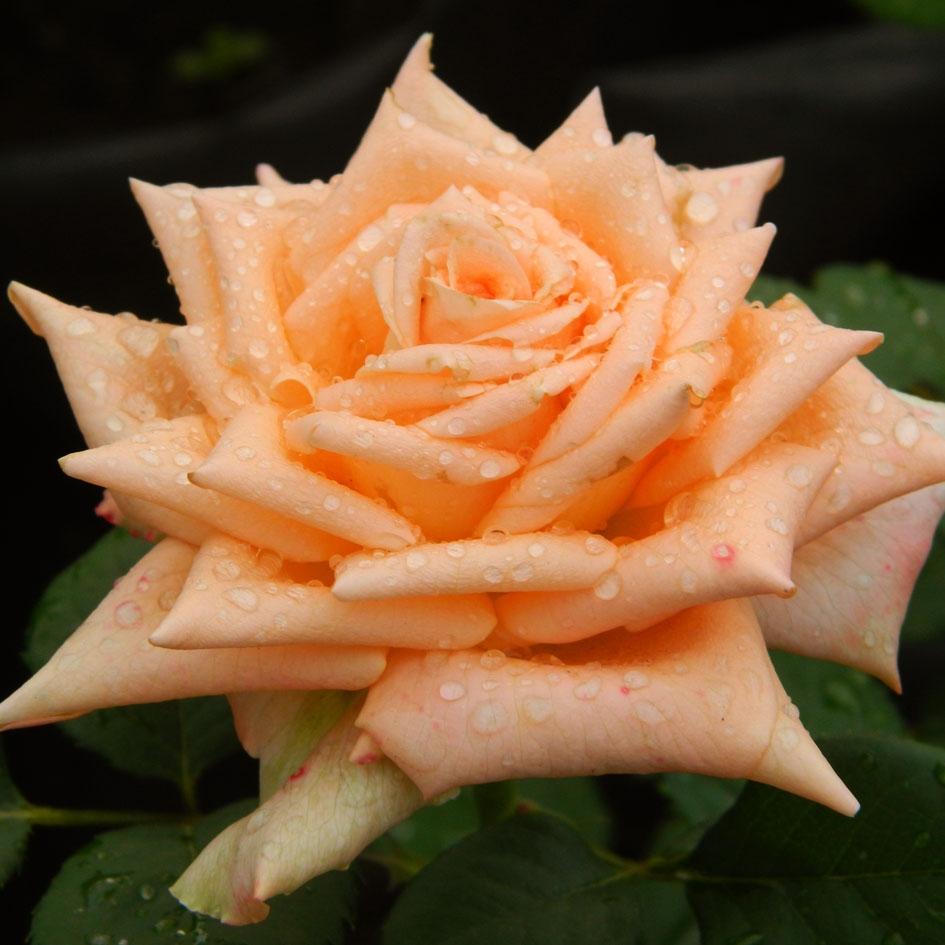 роза эльдорадо фото описание съемки