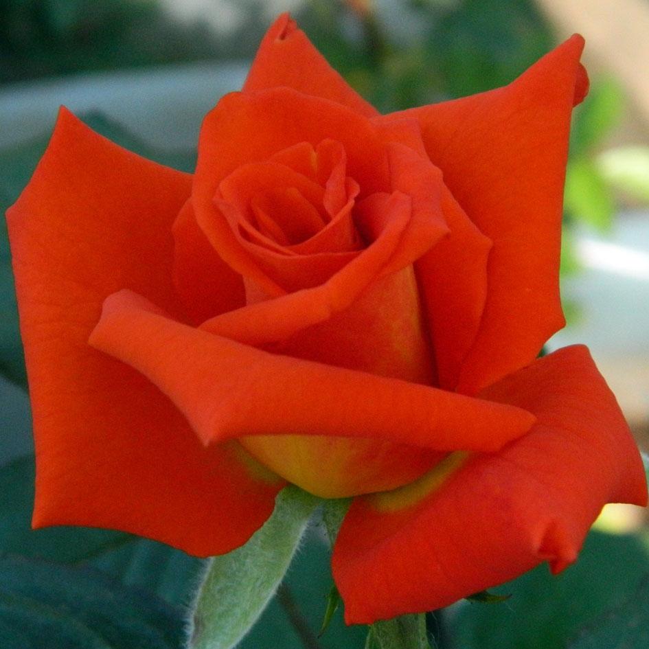 если роза моника фото описание этой статье